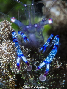 Purple spotted commensal shrimp, Periclimenes holthuisi, ... by Paul Flandinette 